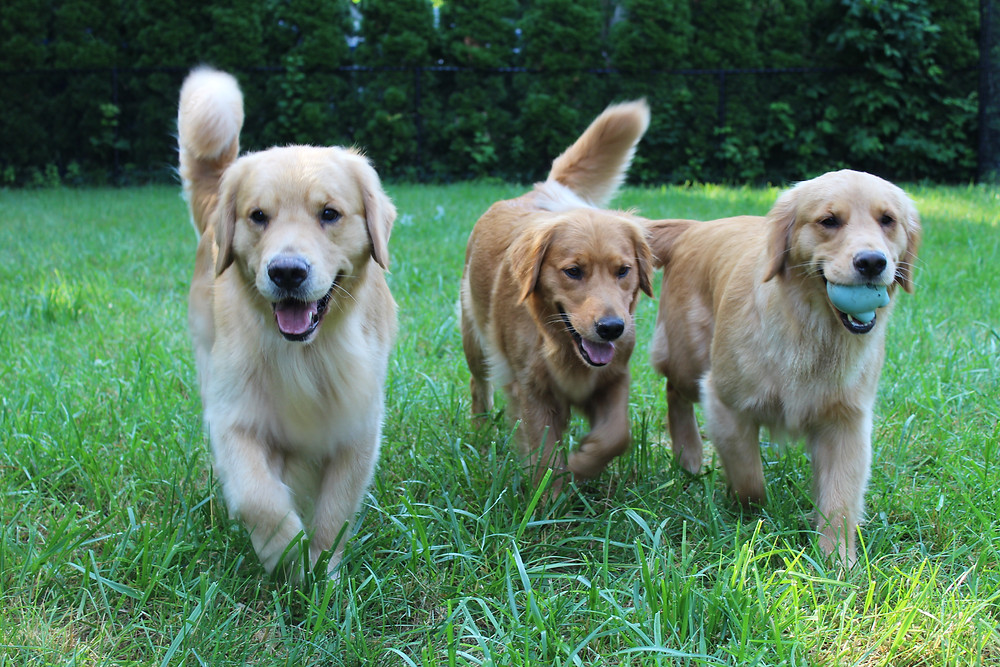 Heartstone Goldens
