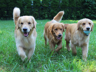 Goldens on the Move!