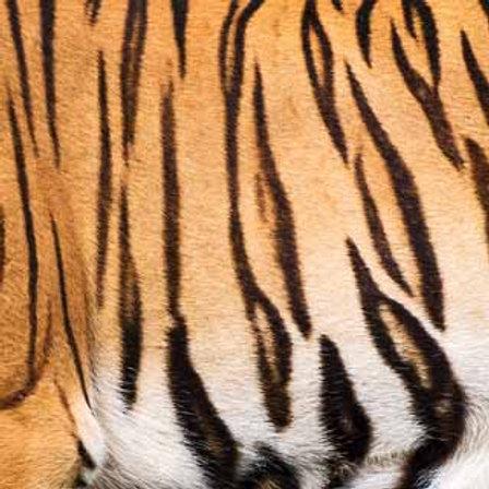 Bengal Tiger (ELLA & VIV-Animal Kingdom)