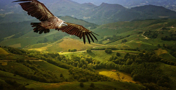 griffon vulture 1.jpg