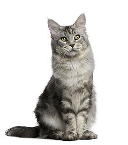 たたずむグレーの猫