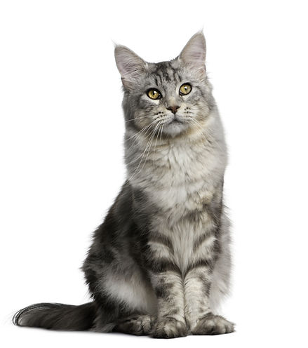 Silver longhaired tabby cat.