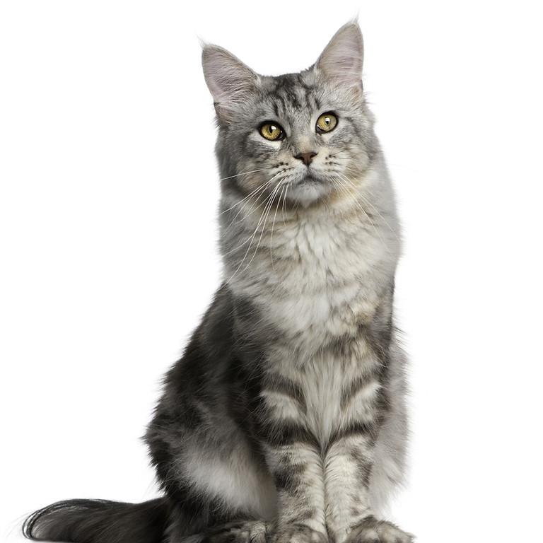 Webinário - Adaptação de Felinos