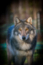 Mysterious Gray Wolf (Canis lupus).jpg