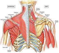 Muskeln und Gelenke der Schulter