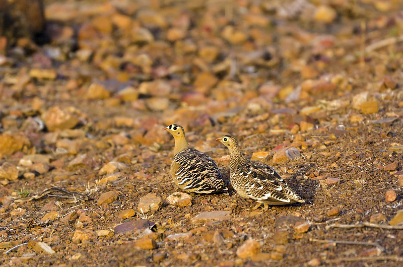 Painted Sandgrouse.jpg