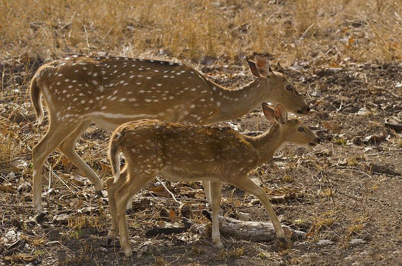 Spotted Deers.jpg