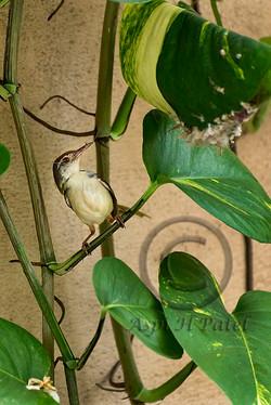 03 Tailor Bird with nest