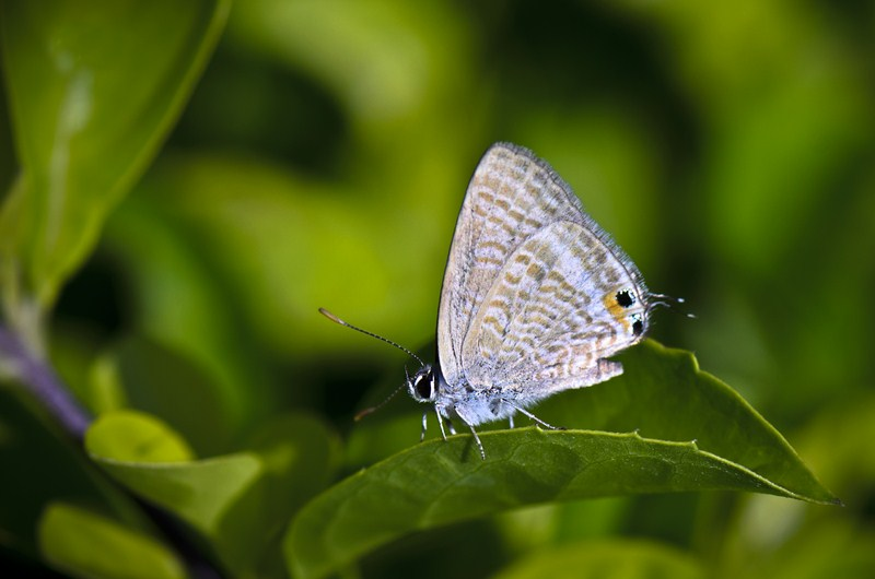 _AHP4277 Pea Blue butterfly.jpg