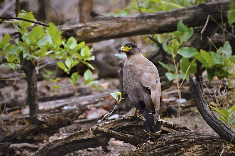_AHP0405 Serpent Eagle.jpg