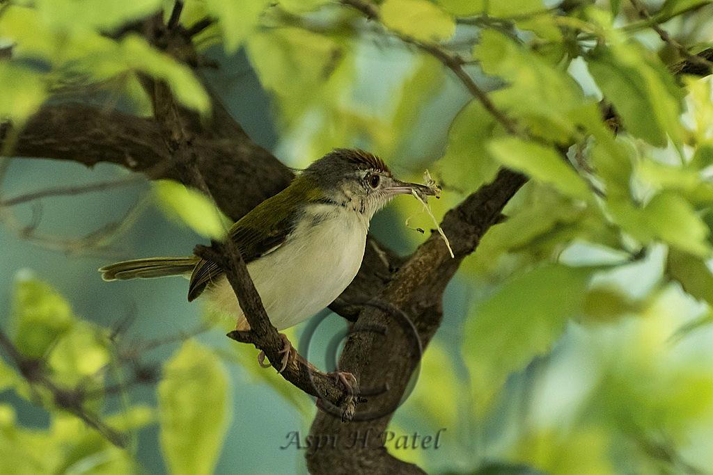 02 Tailor Bird 1