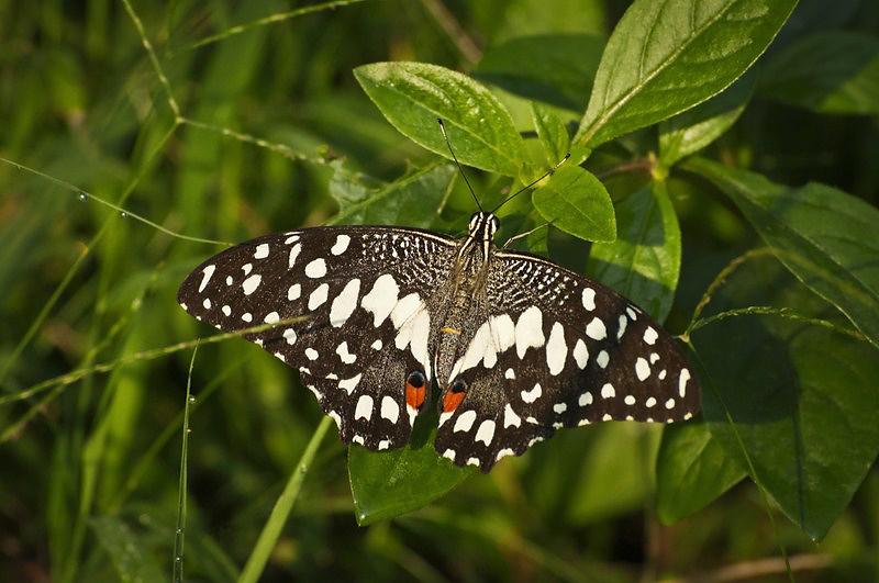 _AHP0843 Lime Butterfly (Papilio demoleus).jpg