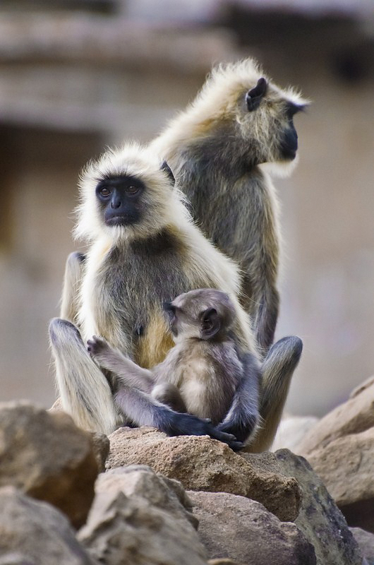 Grey langur family.jpg