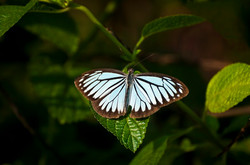 _AHP0862 Indian Wanderer (Pareronia Hippia).jpg