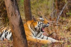 BENGAL TIGER at Bandhavgarh (2).jpg