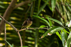 01 Red Vented Bulbul