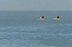 _AHP4739 Flamingoes in flight.jpg