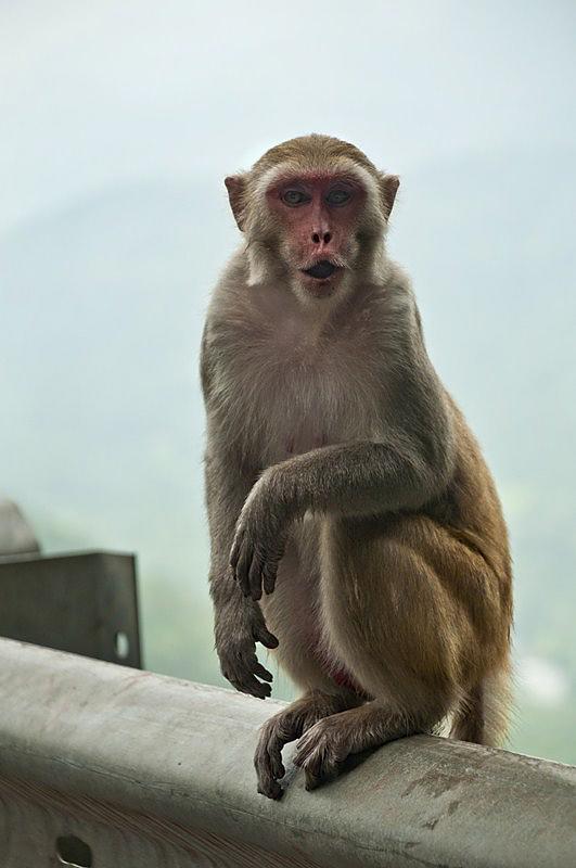 _AHP0046 Rhesus Macaque.jpg