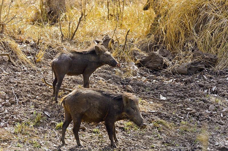 Wild Boars.jpg