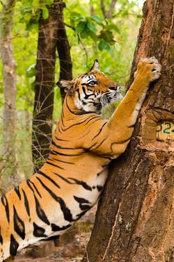 BENGAL TIGER at Bandhavgarh (3).jpg