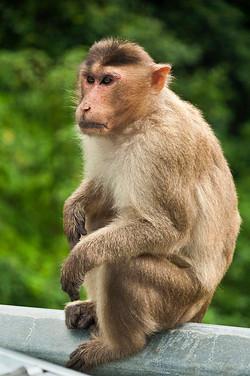 _AHP0032 Rhesus Monkey.jpg