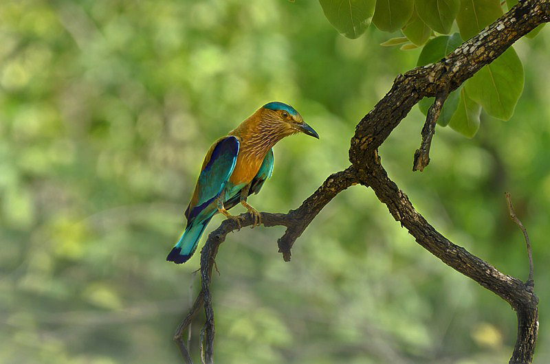 BLUE JAY (Indian Roller).jpg