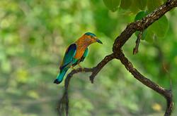 BLUE JAY (Indian Roller).jpg