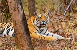 BENGAL TIGER at Bandhavgarh.jpg
