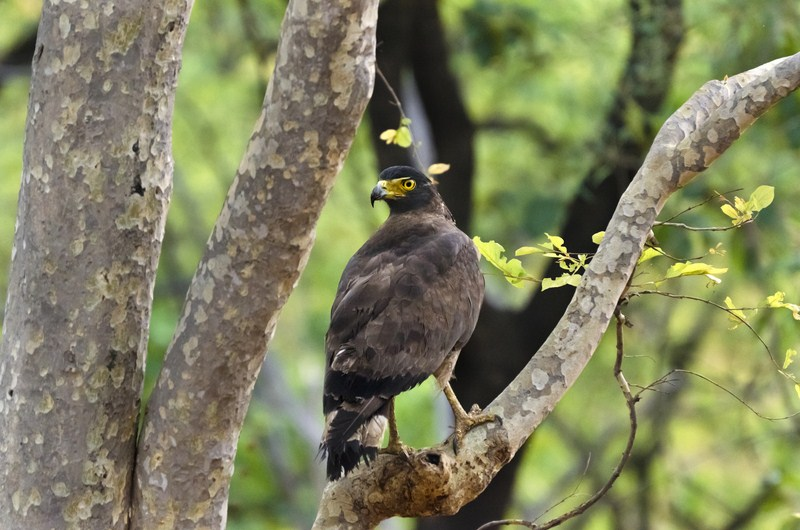 _AHP0389 Serpent Eagle.jpg