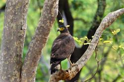 _AHP0389 Serpent Eagle.jpg