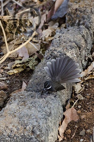 09 Fantail Flycatcher 2