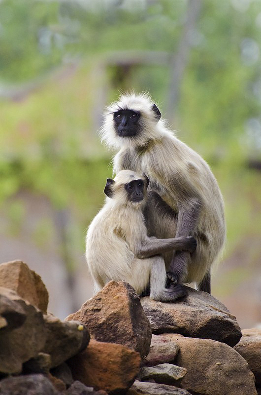 Mother & baby Grey Langurs.jpg