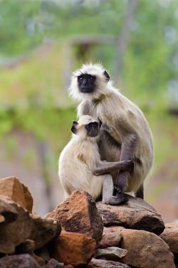Mother & baby Grey Langurs.jpg