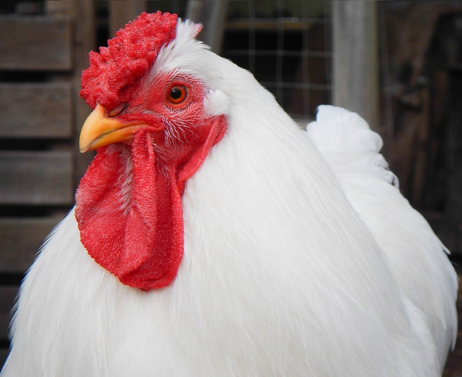 chicken-1189722_1920