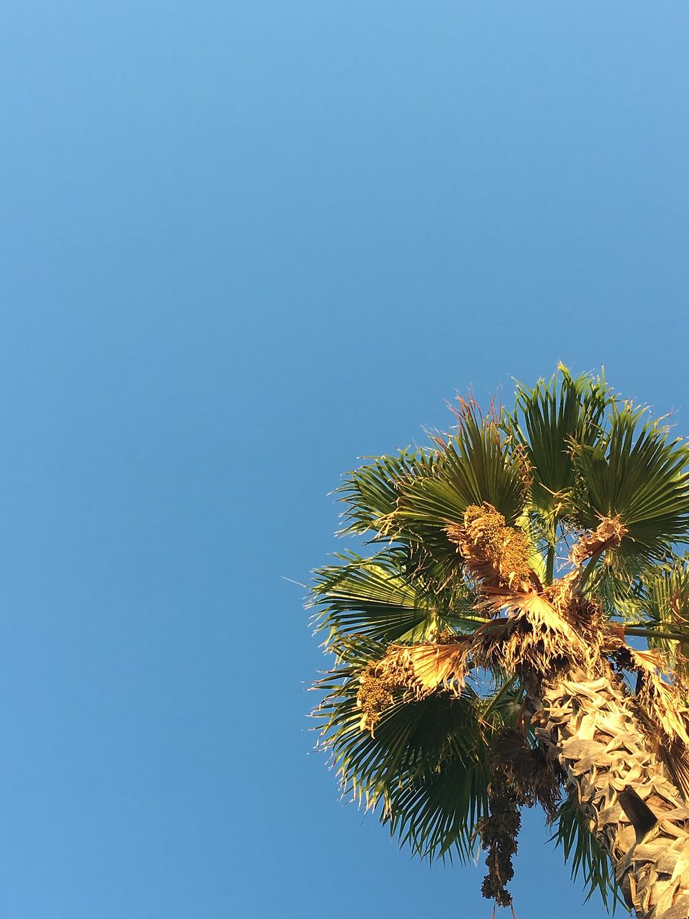 Palmier à Barcelone