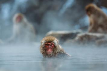 Snow Monkeys in Onsen