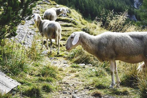 Village sheeps along the trek