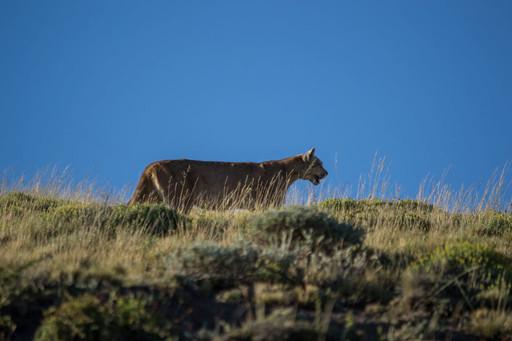 Puma Tracking