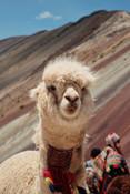 Llama looking at you