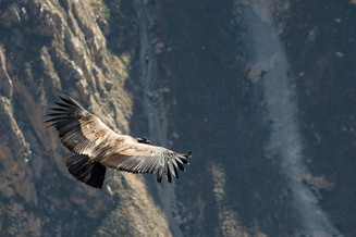 Watch the majestic Condors