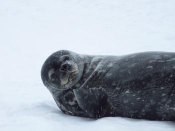 Beckoning Seal