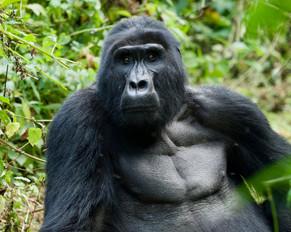 Majestic Mountain Gorilla