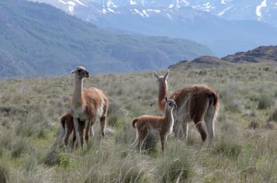 Llamas on the plains