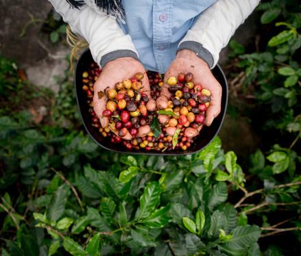 Visit a working coffee hacienda