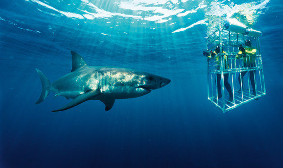 Shark cage diving not for the faint hearted