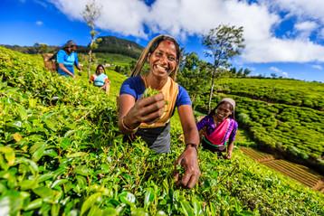 Terraced tea plantation