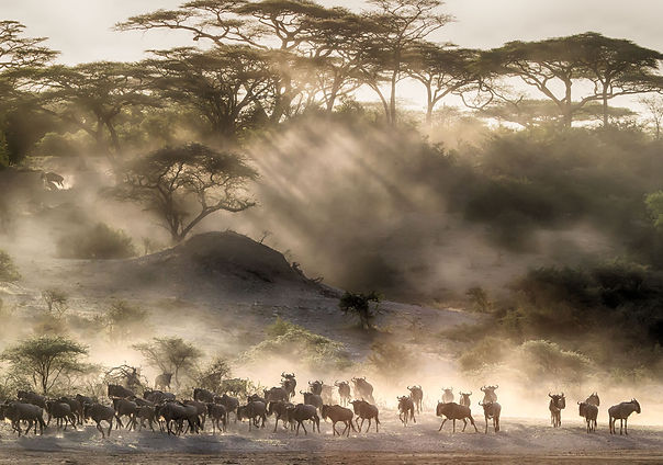 KLEIN Great-migration-wildebeest-on-a-an