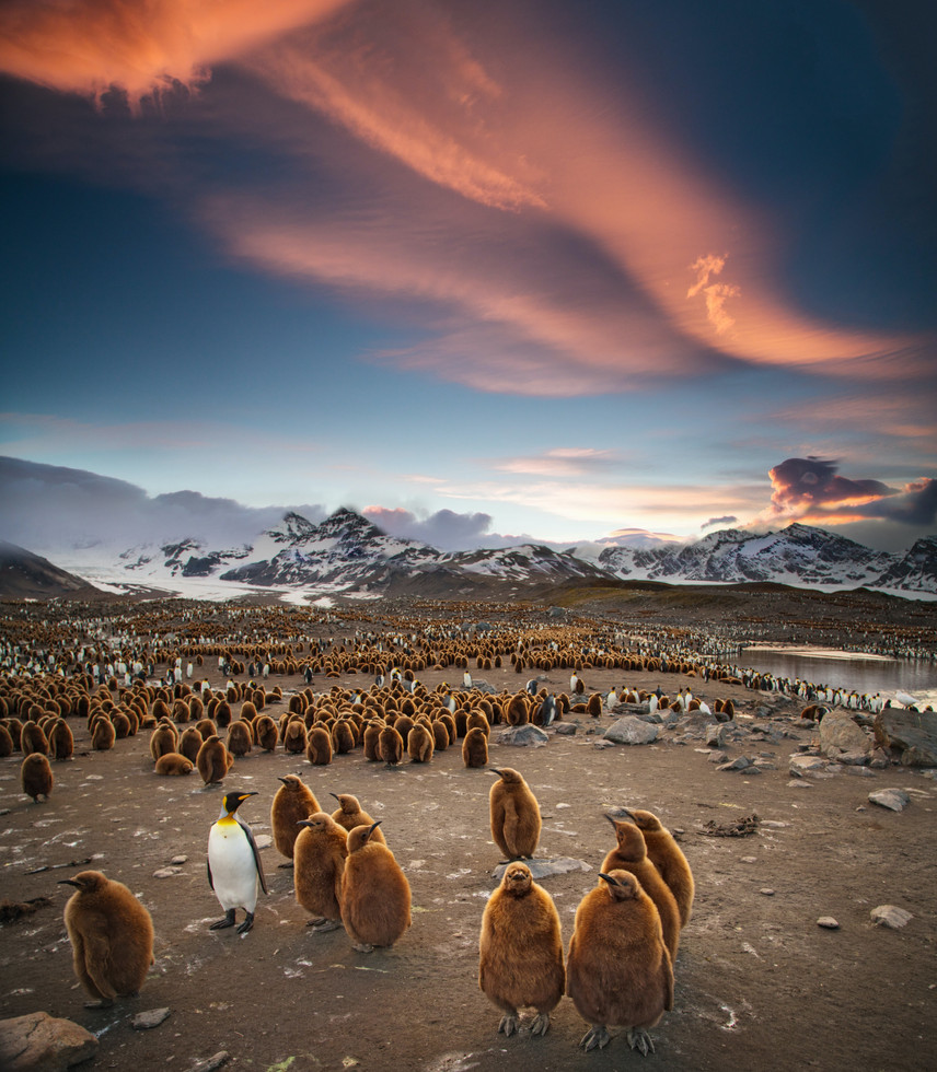 South Georgia, King Penguins and Chicks
