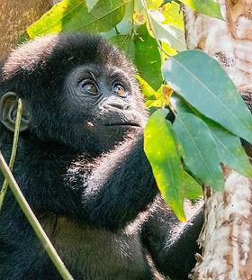 Baby Gorilla.jpg