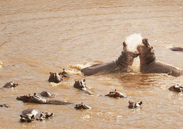sayari_-_hippos.jpg